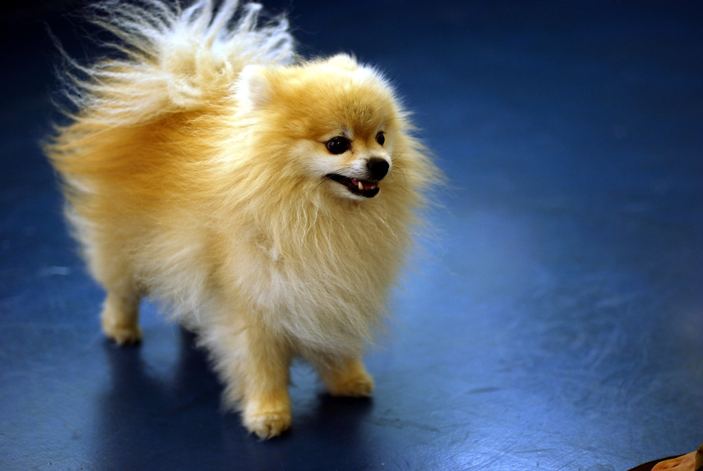 how to crate train a pomeranian