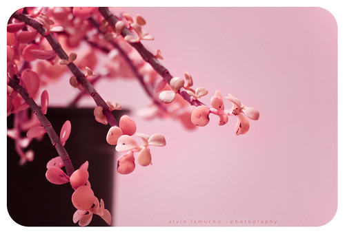 hanging by a [pink!] moment... | by alvin lamucho ©