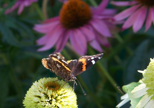 Red Admiral on Coconut Lime Coneflower | by Laura Rowan