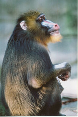 Mandrill | by Potter Park Zoo
