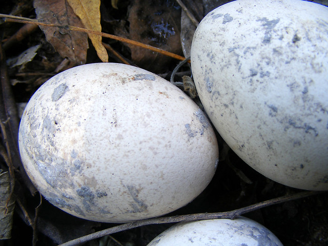 peafowl eggs | Flickr - Photo Sharing!