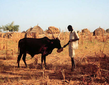 Man Feeds His Animal Supplementary Feed In Niger Man