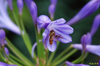 hoverfly | by soullman