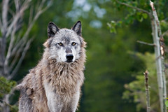 Wolf - Discovery Center | by WSK_2005