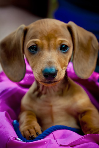 Big eared Dachshund Puppy - Mick | by Jeremiah Thompson
