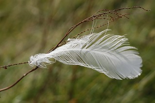 White Feather | by jillyspoon