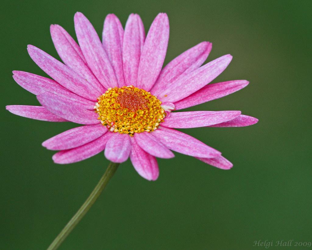 Pink flower artist daisy chainsaw song pink flower wish flickr pink flower by helgi halldrssonfreddi mightylinksfo