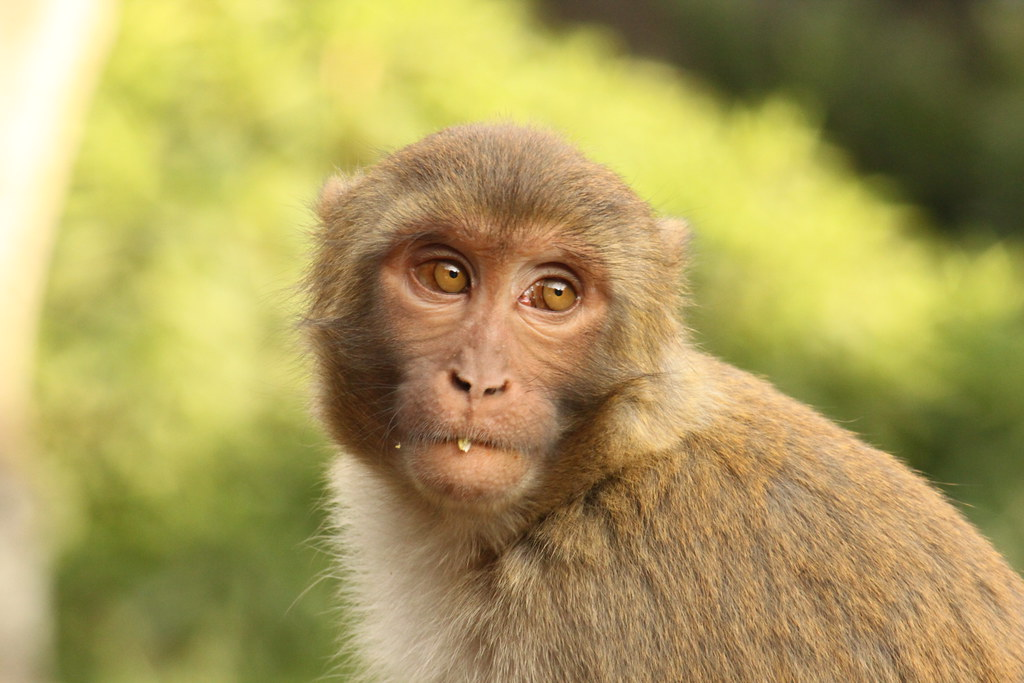 Beardy Monkey: Monkey With Food In Its Beard At Swayambhu