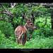 Axis Deer - Yala