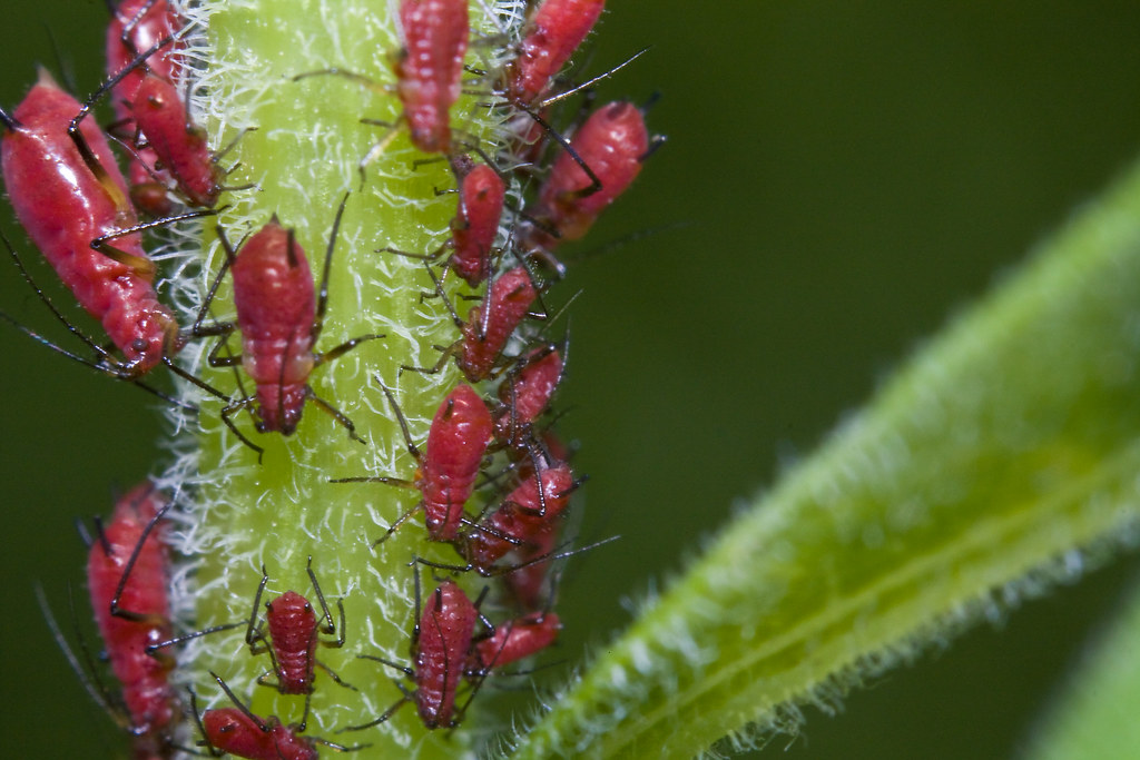 Red Aphids...according to science...they are brown ambrosi ...