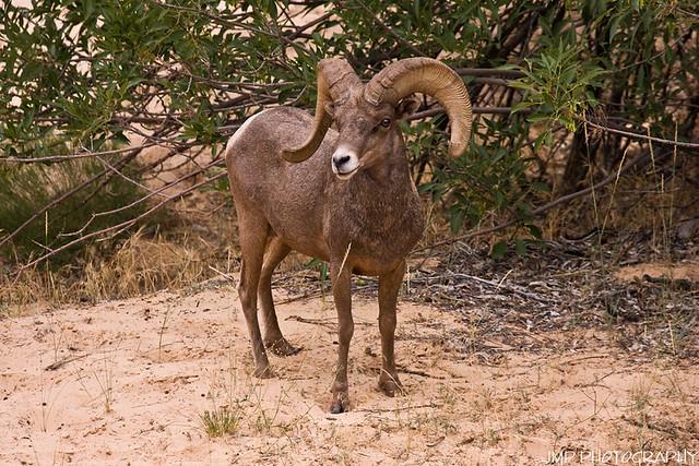 Ram Big Horn >> Big Horn Ram   Big Horn Sheep East Zion Zion National Park ...