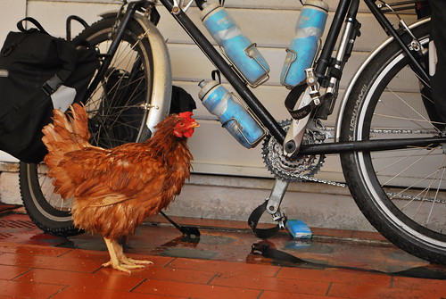 Wet Hen & Bicycle | by goingslowly