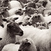a sheepish image
