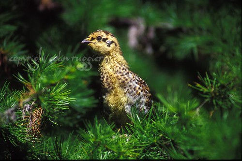 Grouse Chick 2 | by ColinRuggiero