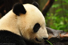 Panda portrait at the San Diego Zoo | by Pat Ulrich