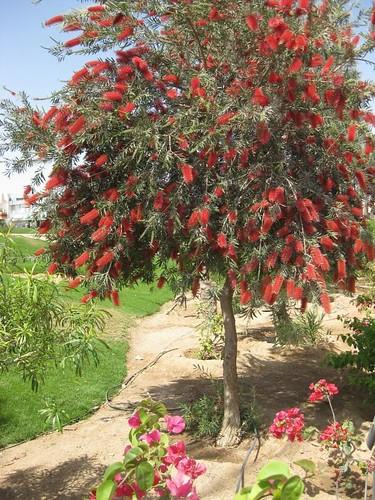Bottle Brush Tree Explore 67 Highest Position July 5th