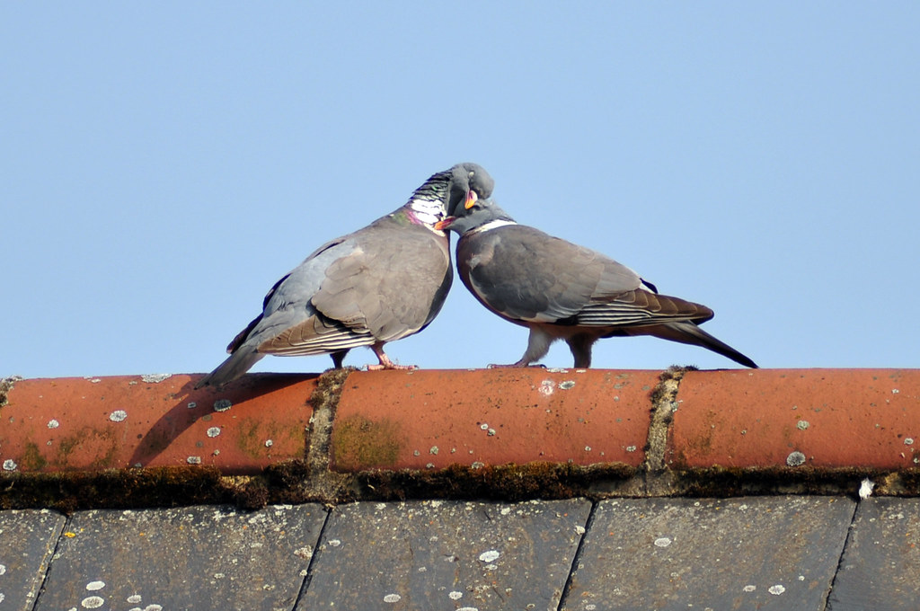 Pigeon Cuddles Pigeons On The Roof Folly Island