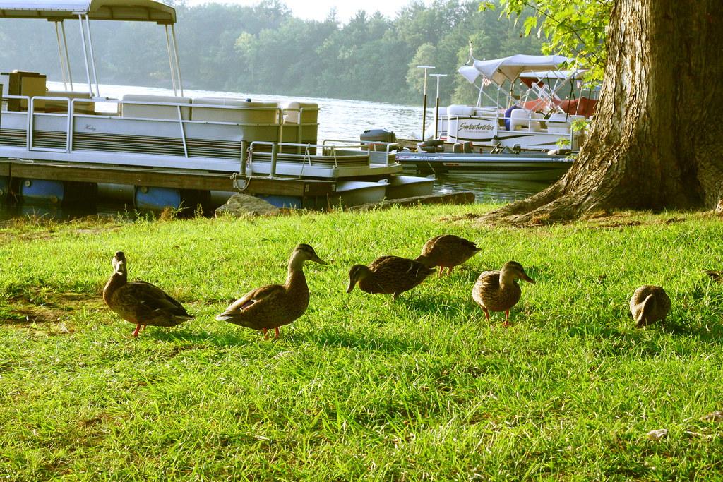 Ducks at the Campground 7 | Seneca Lake Ohio | Tonya Brill ...