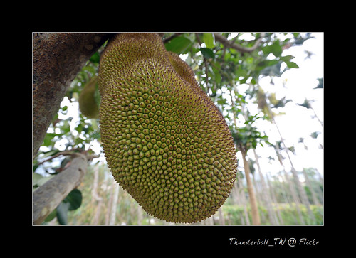 波蘿蜜  jackfruit ..... I am not Durian. | by Thunderbolt_TW