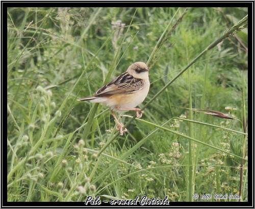Pale-crowned Cisticola / Bleekkopklopkloppie - Cisticola cinnamomeus | by Eagles Rest