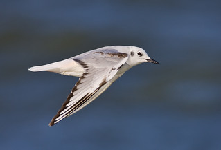 Bonaparte's Gull | by J Gilbert