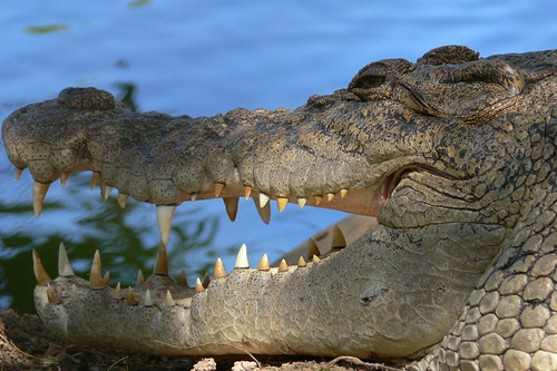 Crocodile Northern Territory | by neeravbhatt