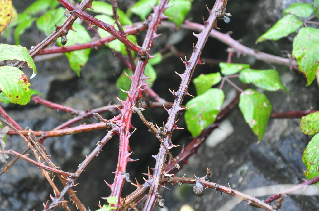 thorny | close up of the thorns from wild blackberry ...