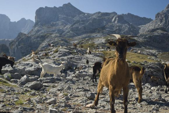 Bergszenerie mit Ziegen