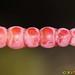 Glaucous Glasswort (Arthrocnemum macrostachyum)