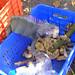 Culebra Iguana Stealing Bananas