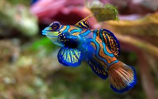 Fish mandarinfish mandarinfish synchiropus splendidus for Trodel mobel