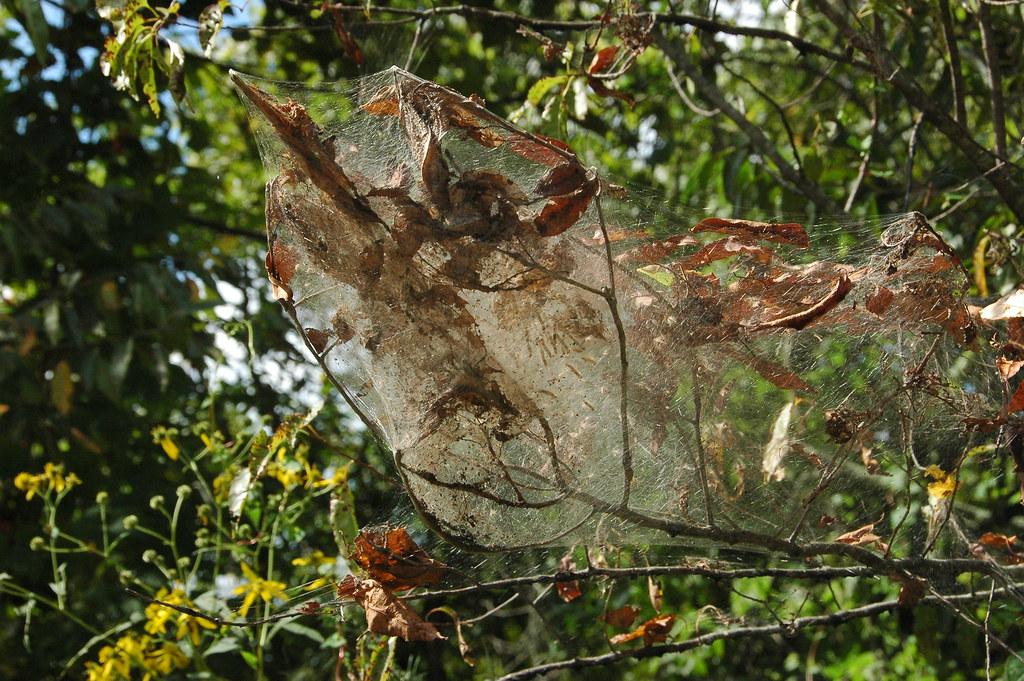 a big spider web in the trees jon hunt flickr. Black Bedroom Furniture Sets. Home Design Ideas