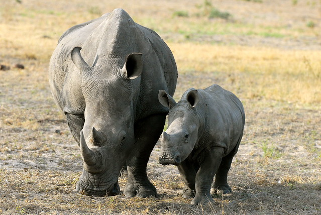 Baby RhinocerosRhinoceros Baby