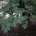 The Field Maple or Hedge Maple, Acer campestre