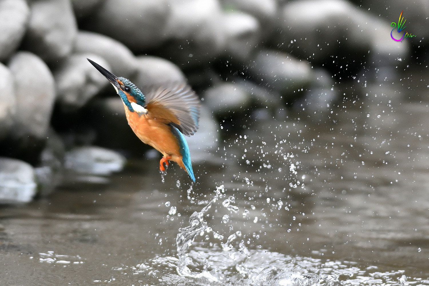 Common_Kingfisher_0986