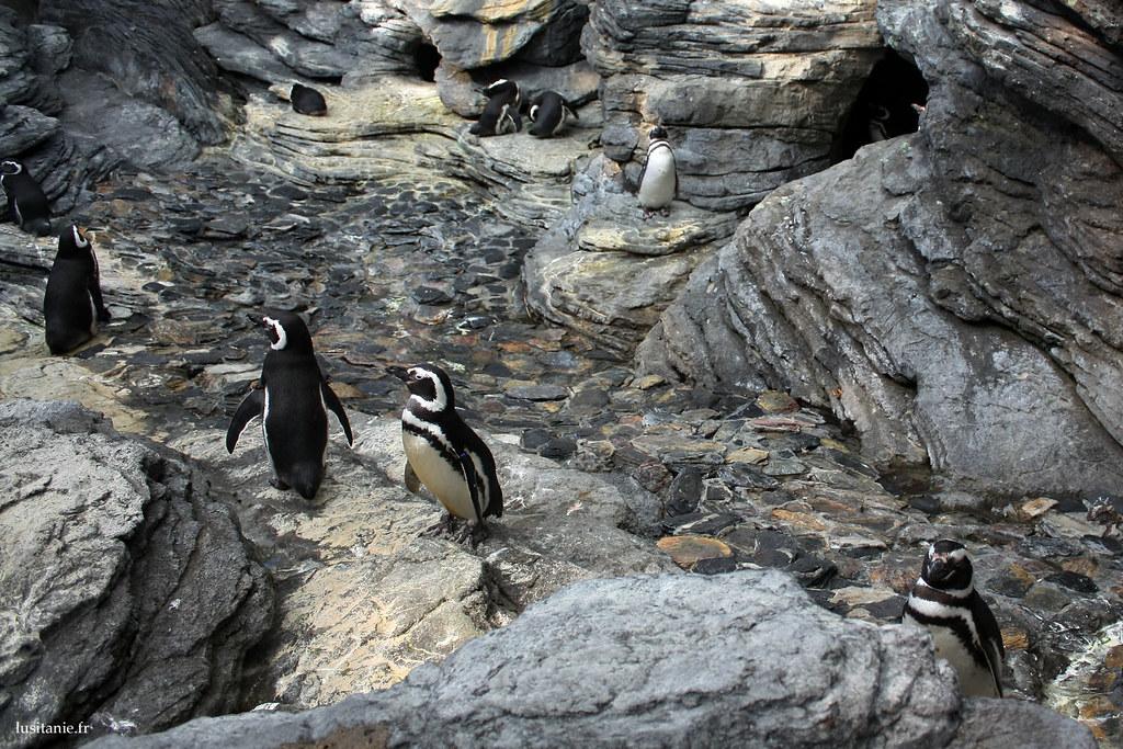Les pingouins ont l'air de se plaire sous les cieux de Lisbonne