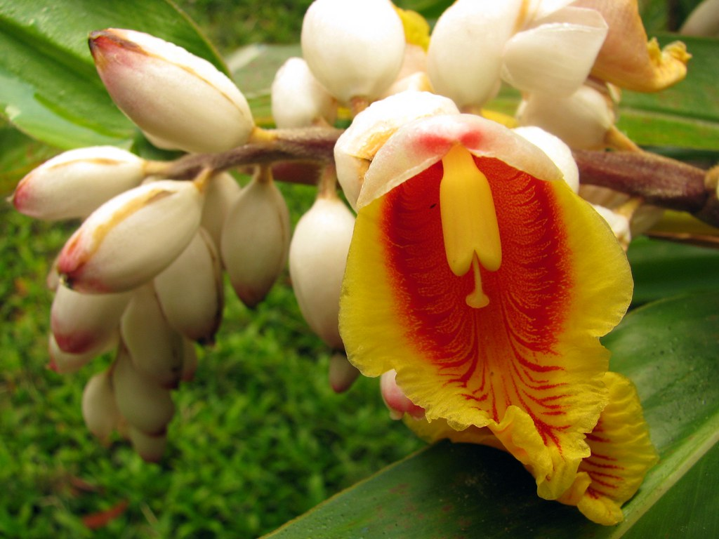 ... zerumbet. Shell flower. | Madagascar. Andasibe. FEON… | Flickr