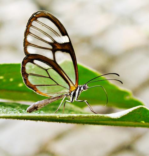 Erruca Clearwing - Pseudoscada erruca