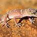 Gecko Flinders Ranges Australia