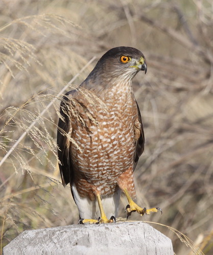 Coopers Hawk-IMG_2579-MV Baylands-crop | by gimlack
