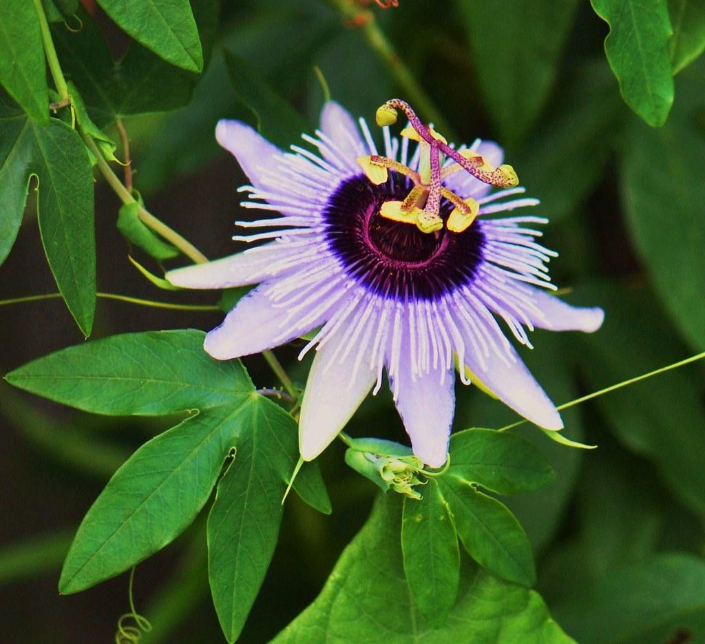 Purple Passion Flower Marilou Lehmann