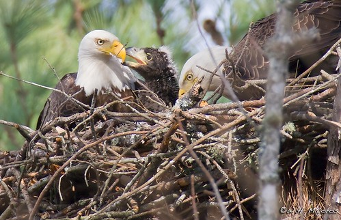 Bald Eagle Adults and Chick (North Carolina) | by bmajoros