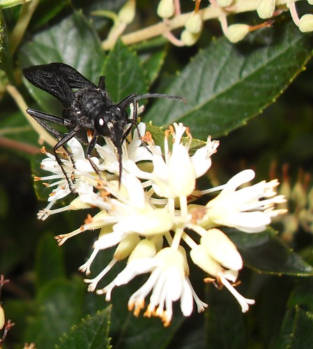 how to get rid of black flower wasp