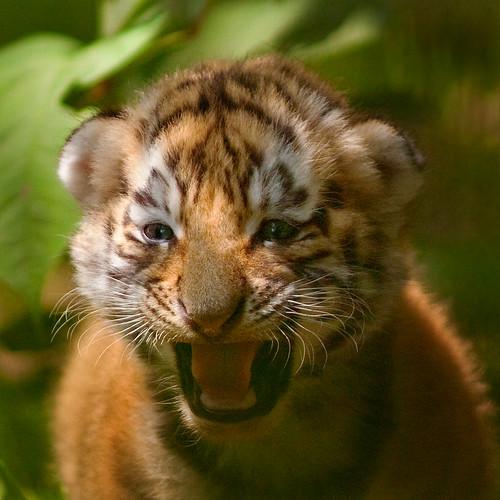 siberian tiger cub | The siberian tigers at the Arche Noah ... Cute Siberian Tiger Cubs