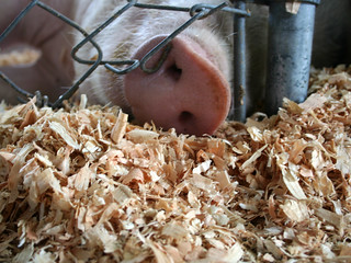 Piggie Snout | by Librarianguish