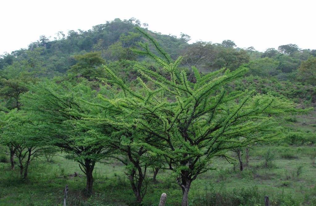 193 Rboles De J 237 Caro Con Hojas Nuevas Jicaro Gourd Trees Wi