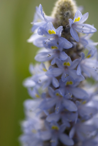 pickerel weed | by NYBG