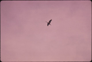 A Solitary Lesser Sandhill Crane with Wings Extended Flies Above the Lillian Annette Rowe Bird Sanctuary near Grand Island Nebraska...03/1975 | by The U.S. National Archives