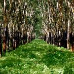 Rubber Plantation in Cambodia