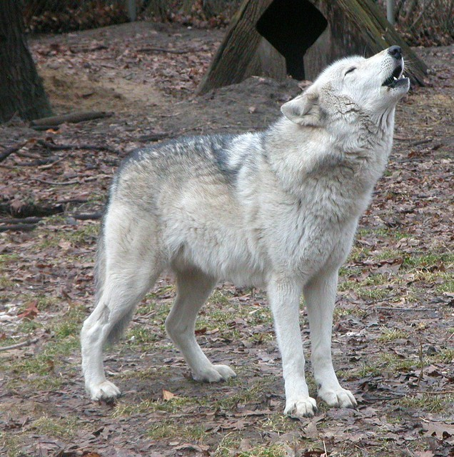 timber wolf yukon potter park zoo flickr